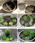 Peaches, Blueberries & Rosemary - Oh My! Using Recycled Wine Barrels for Gardening