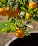 The Kishu Mandarin - tree | TeenieCakes.com