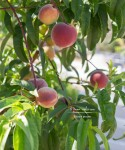 Edible Gardening - Babcock Peaches | TeenieCakes.com