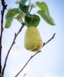 Autumn's Ever Visual and Edible Garden - Bartlett Pear