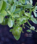 Autumn's Ever Visual and Edible Garden - Fukushu Kumquat