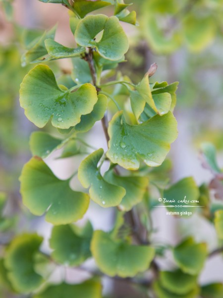Autumn's Ever Visual and Edible Garden - Ginkgo