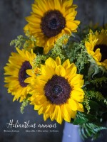 Helianthus annuus, the Sunflower and last days of summer