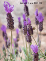Lavandula & the Bee (lavender)