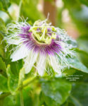 My Purple Passion - The Passion Fruit (passiflora)