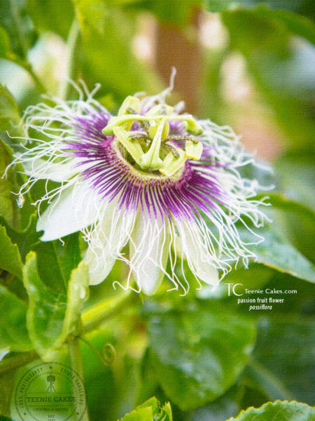 Passion Fruit Flower - passiflora