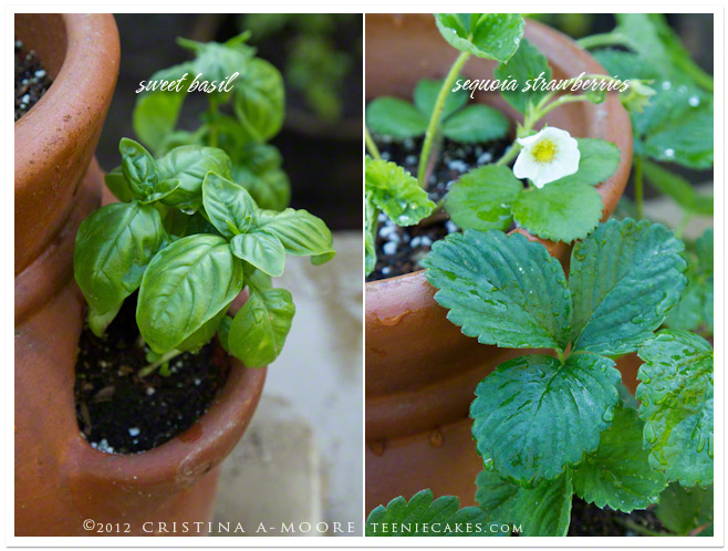Sweet Basil and Sequoia Strawberries in Terracotta planters