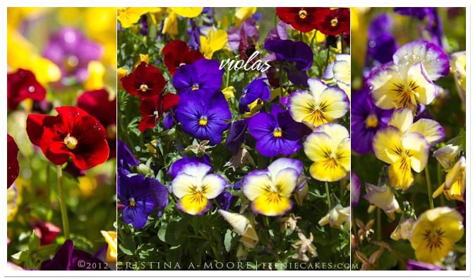 Season, beautiful and edible - Violas