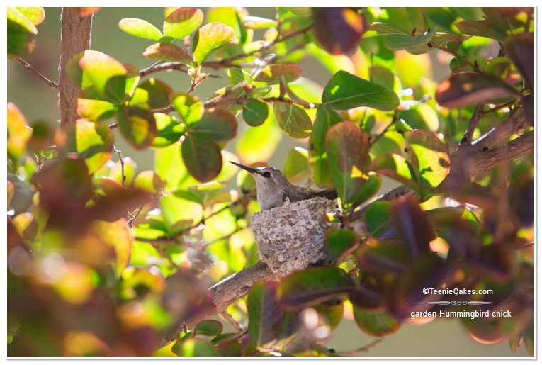 Summer 2013 Garden and Landscape - hummingbird chick - photography | TeenieCakes.com