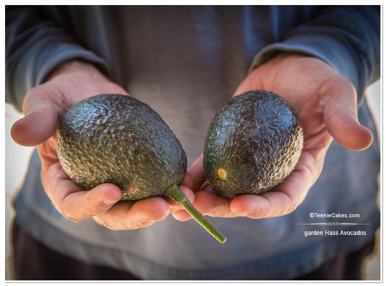 Garden Hass Avocados - photography | TeenieCakes.com