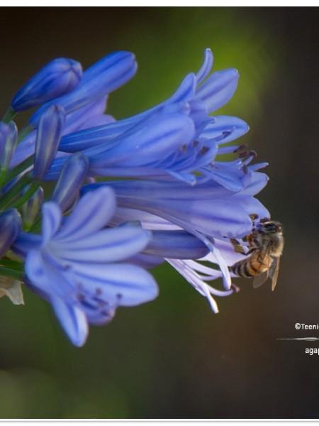 Summer 2013 Garden and Landscape - agapanthus & bee   TeenieCakes.com