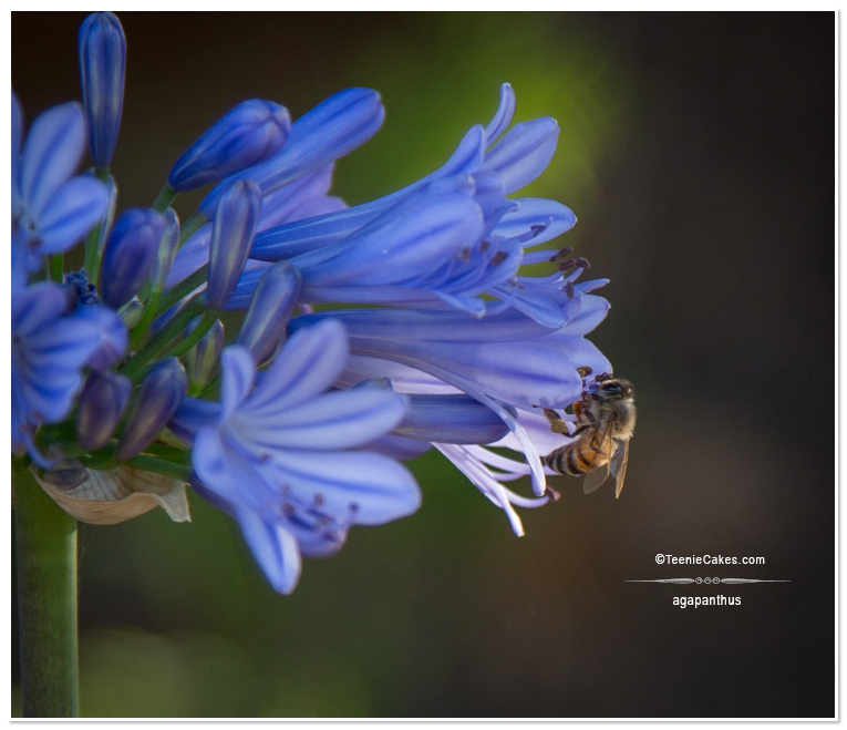 Summer 2013 Garden and Landscape - agapanthus & bee photography | TeenieCakes.com