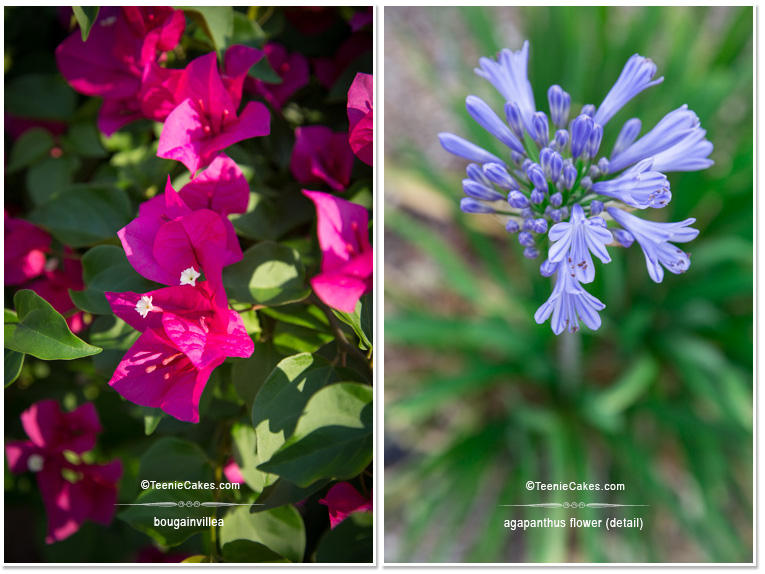 Summer 2013 Garden and Landscape - Color: Bougainvillea & Agapanthus flower (detail) photography | TeenieCakes.com