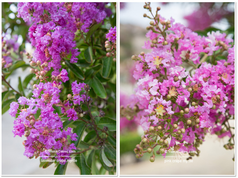 Summer 2013 Garden and Landscape - Color: Crape Myrtles in lavender & pink - photography | TeenieCakes.com