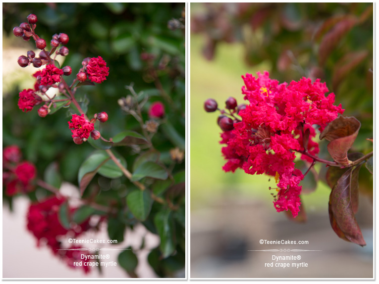 Summer 2013 Garden and Landscape - Color: Dynamite Crape Myrtle & Agapantus (detail) - photography | TeenieCakes.com