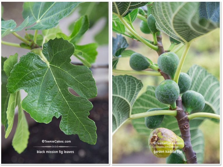 Summer 2013 Garden black mission figs & kadota figs - photography| TeenieCakes.com