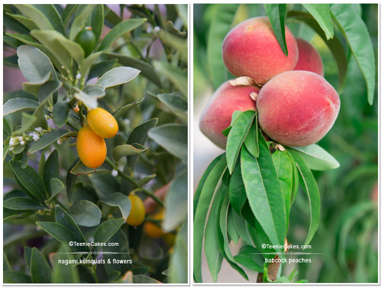 Summer 2013 Garden nagami kumquats & babcock peaches - photography | TeenieCakes.com