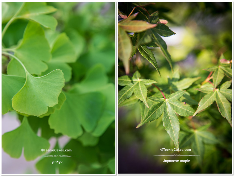 Summer 2013 Garden - Color: Ginkgo and Japanese Maple - photography | TeenieCakes.com