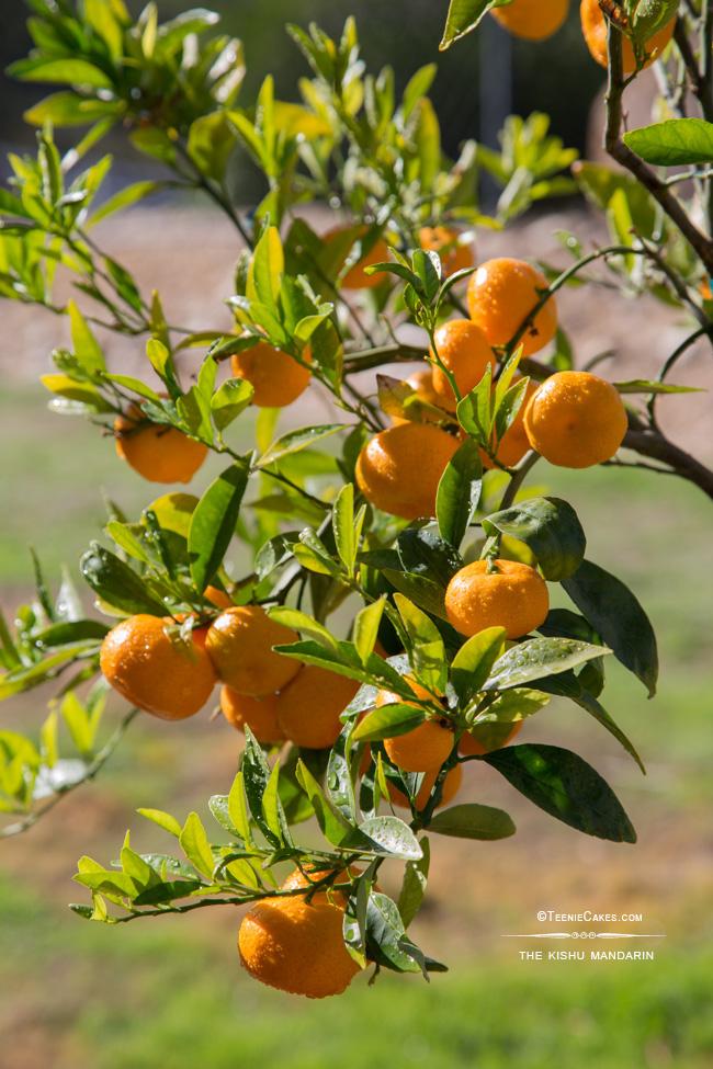The Kishu Mandarin - tree | Cristina A-Moore Photography for TeenieCakes.com