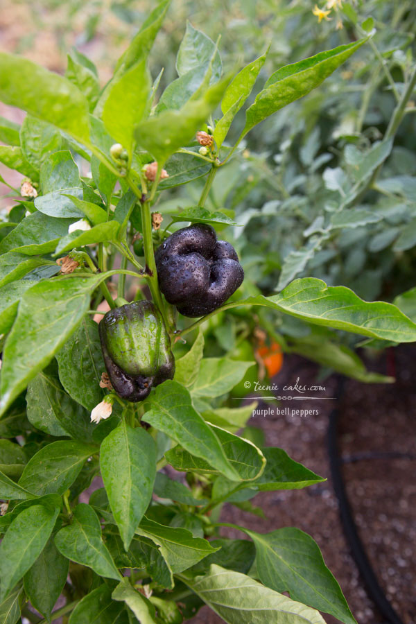 Edible Gardening - Purple Bell Peppers | TeenieCakes.com