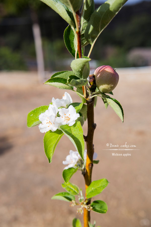Edible Gardening - Wickson Apples | TeenieCakes.com