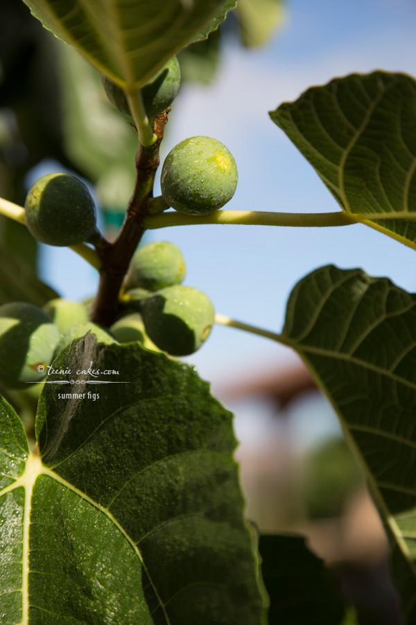 Edible Gardening - Kadota Figs | TeenieCakes.com