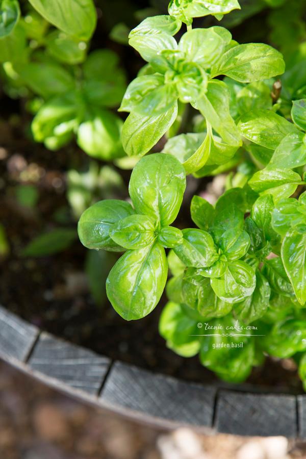 Edible Gardening - Garden Basil | TeenieCakes.com