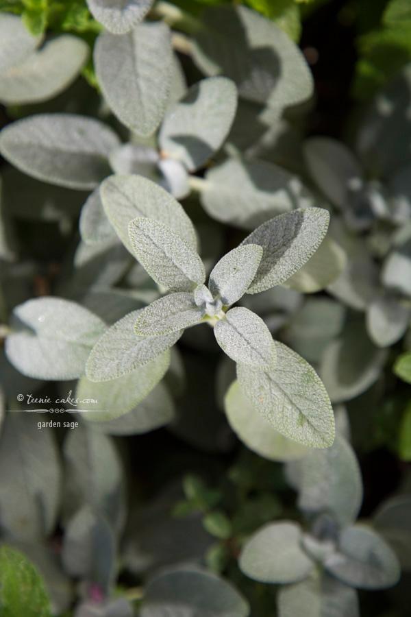 Edible Gardening - Garden Sage | TeenieCakes.com