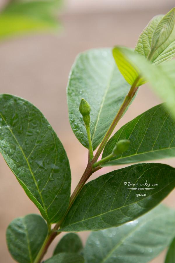 Edible Gardening - Tropic Pink Guavas | TeenieCakes.com