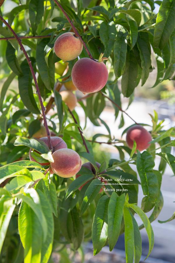 Edible Gardening - Babcock Peaches | TeenieCakes.com