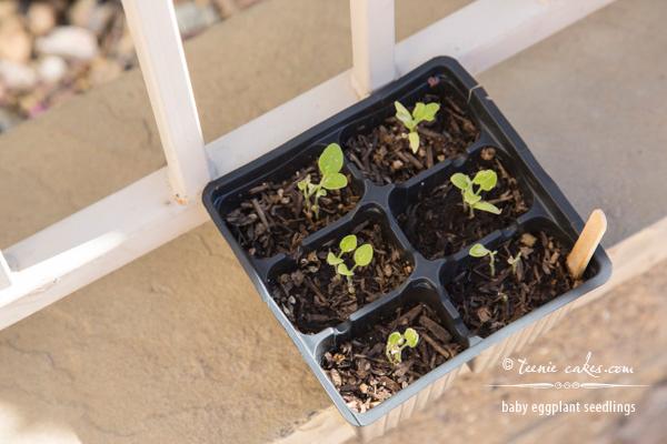 Edible Gardening - Baby Eggplant Seedlings | TeenieCakes.com