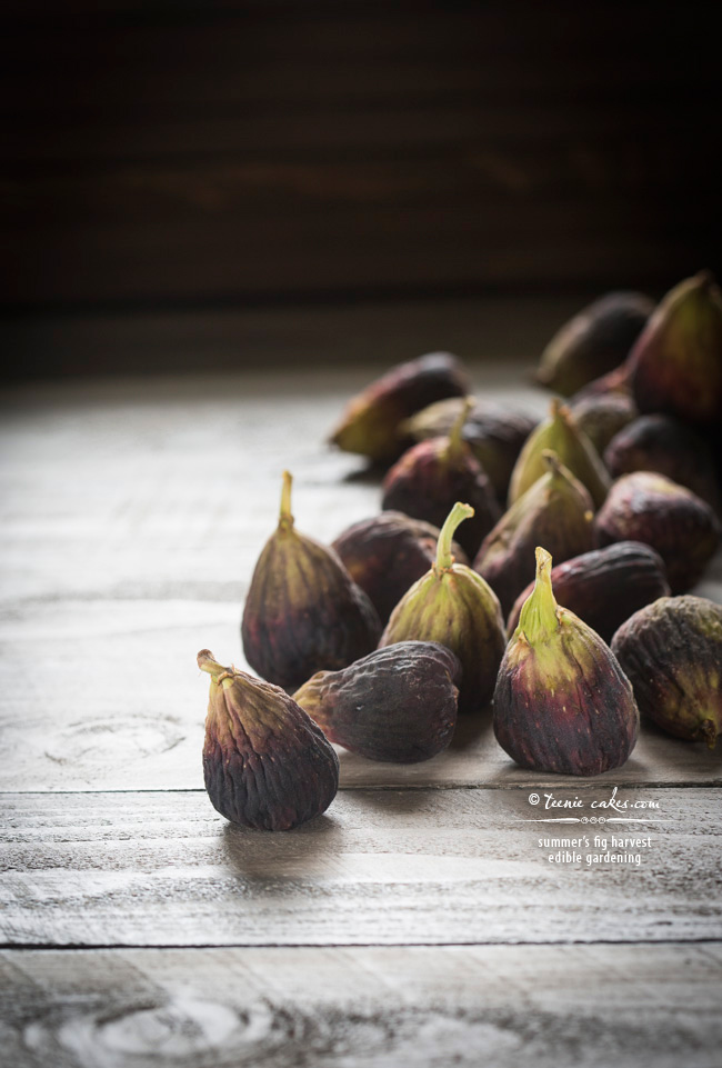 summer's fig harvest - edible gardening | TeenieCakes.com