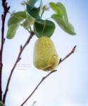 Autumn's Ever Visual and Edible Garden - Bartlett Pear