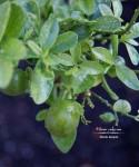 Autumn's Ever Visual and Edible Garden - Fukushu Kumquat