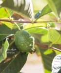 Autumn's Ever Visual and Edible Garden - Pink Tropic Guava