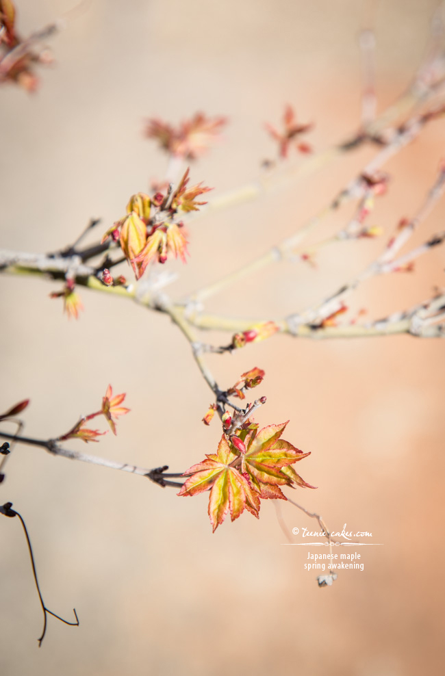 Spring Awakening - Japanese Maple, TeenieCakes.com