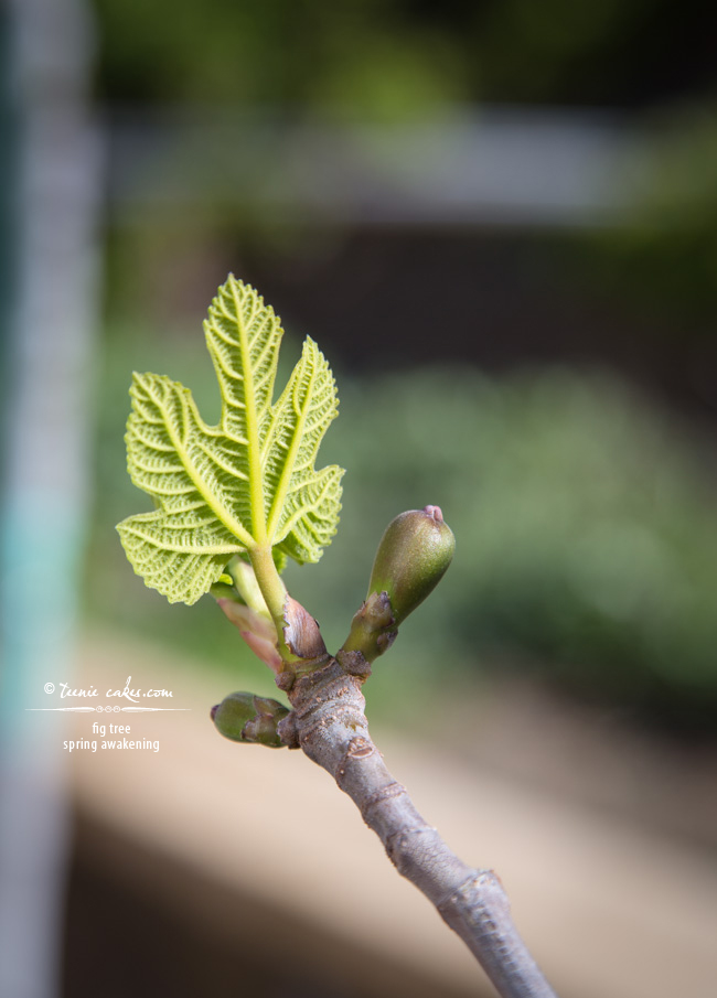 Spring Awakening - Fig Tree, TeenieCakes.com