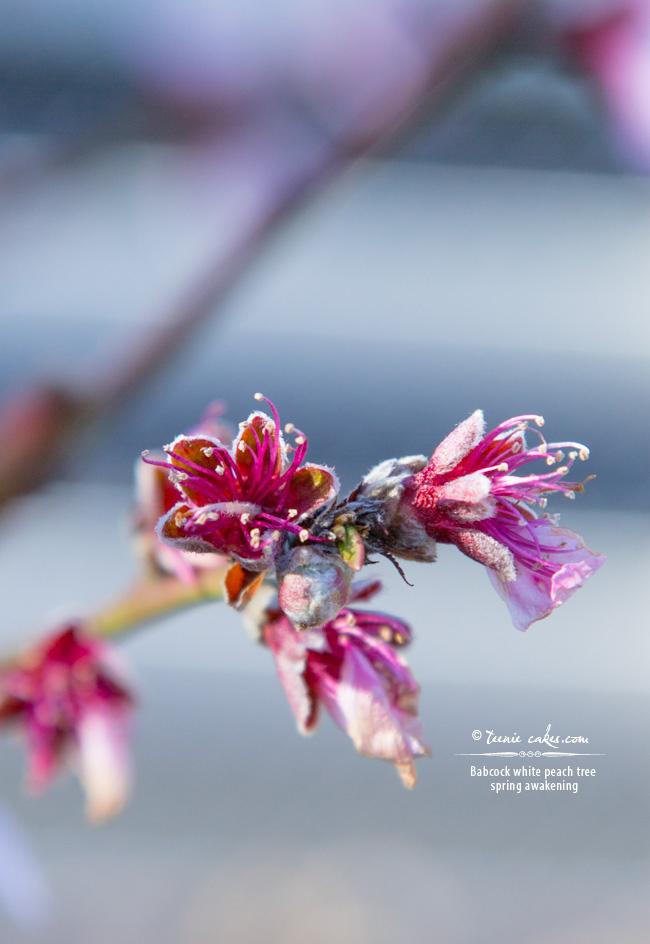 Spring Awakening - Babcock White Peach Tree, TeenieCakes.com