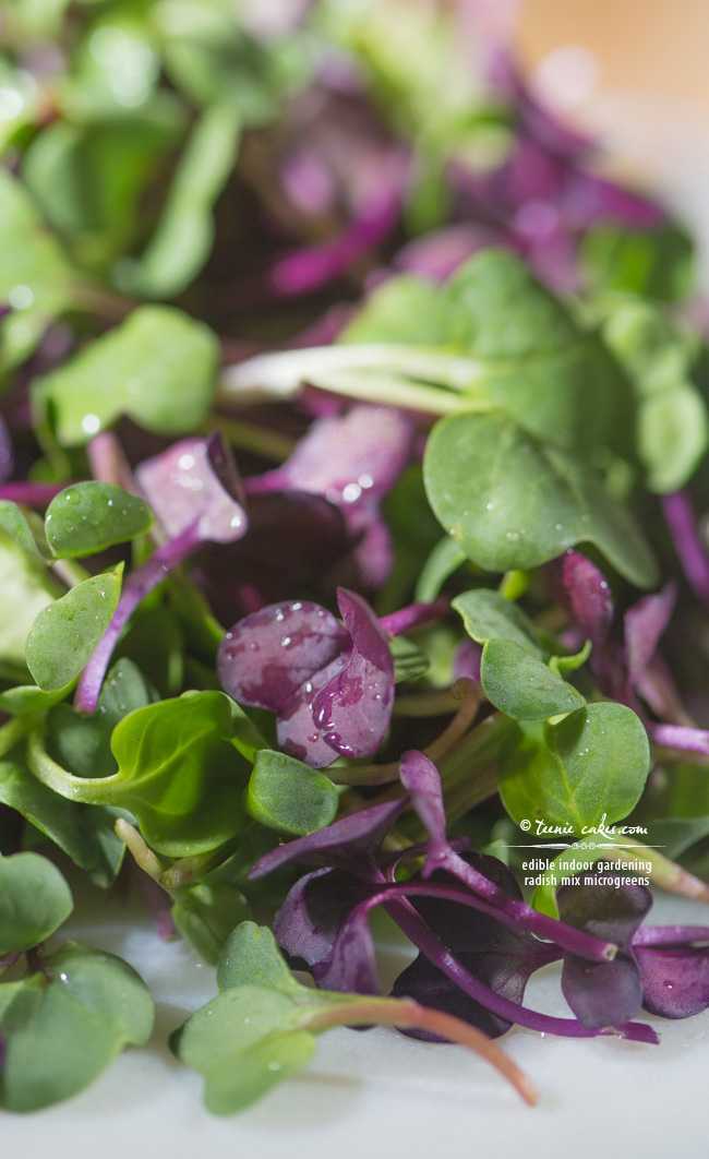 Edible Indoor Gardening - Radish Mix Microgreens - TeenieCakes.com