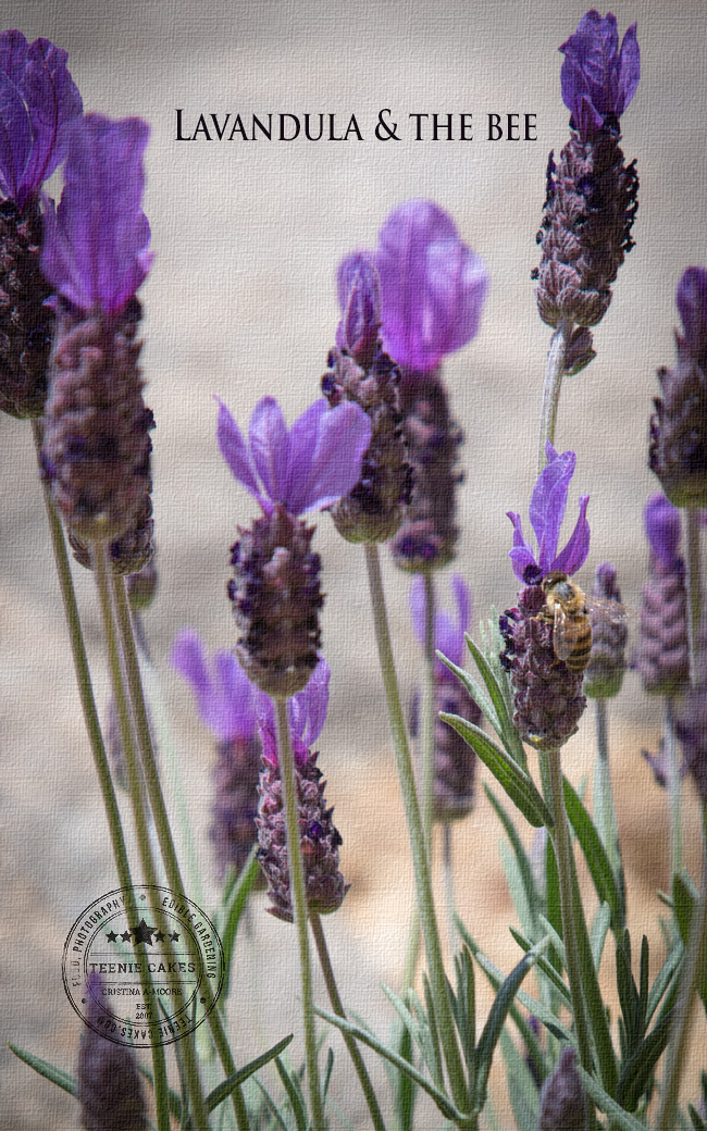 Lavandula (lavender) & the bee